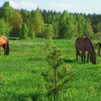 В холмах зелёных табуны коней... :: Лесо-Вед (Баранов)
