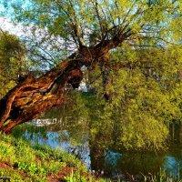 Старая ива над озером :: Nina Yudicheva