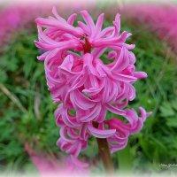 Розовый гиацинт :: Nina Yudicheva