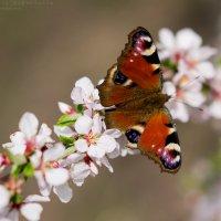 бабочка :: Ярослава Бакуняева