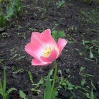 Тюльпан :: Serg