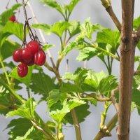 а ягодки висят с зимы.. :: валя