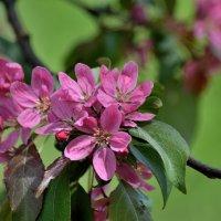 Розовые  лепестки яблони.. :: Юрий Анипов