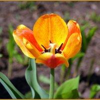 Желтые тюльпаны помнят твои руки... :: Андрей Заломленков