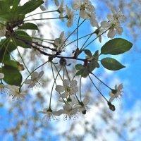 Цветет вишня :: Albina