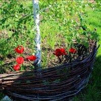 За плетенью тюльпаны цветут :: Татьяна Пальчикова