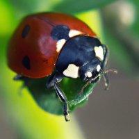 самый милый жук :: Алиса Терновая
