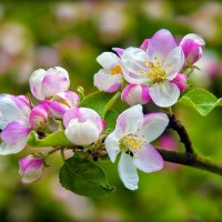 Цвет яблоньки :: Юрий Гординский