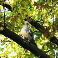Дикий голубь - гордая птица :: Маргарита Батырева