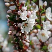 Цветение вишни :: Tiana Ros