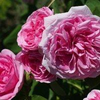 Вдыхая розы аромат :: Swetlana V
