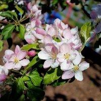 Цветы яблоньки :: Татьяна Пальчикова
