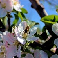 Пчела :: Татьяна Пальчикова