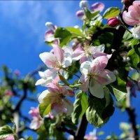 Когда яблоня цветет.... :: Татьяна Пальчикова