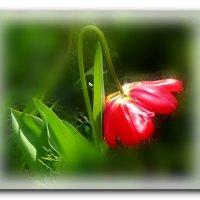 Цветочек аленький. :: Чария Зоя