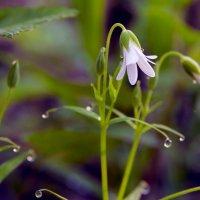 Весенний цветок :: Юрий Стародубцев