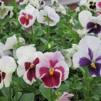 Анютины глазки - цветочки из сказки :: Дмитрий Никитин