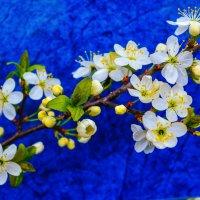 Весеннее цветение :: Сергей Тагиров