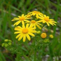 Полевые цветы :: Рина Воржева