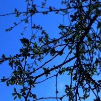 Яблоня в цвету :: Валентина Семенова