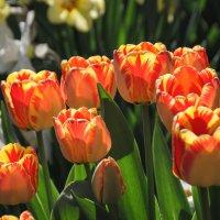 Тюльпаны, тюльпаны... :: Владимир Рязанов