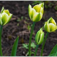 Тюльпаны :: Любовь Потеряхина