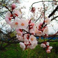 Абрикосы цветут. :: Татьяна ❧
