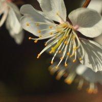 Цвет вишни :: Albina