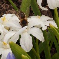 Пчёлка в мае . :: Александр