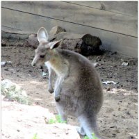 Малые кенгуру :: Герович Лилия