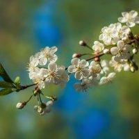 Цветули с яблоневого сада в Коньково :: Екатерина Overon