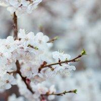 Слива в цвету :: Анастасия Шаехова