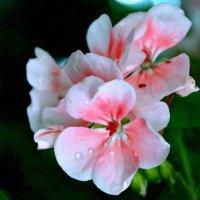 Бывает белой, бывает красной, бывает розовой, бывает разной ... :: Евгений Юрков