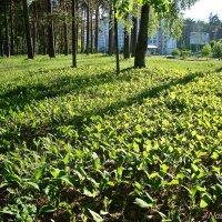 Освещенные солнцем ландыши :: Лидия (naum.lidiya)