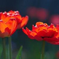 тюльпаны :: Седа Ковтун