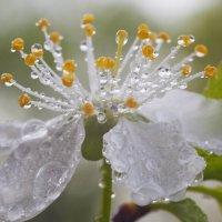 Цветок торна :: Седа Ковтун