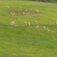 коровы :: Ольга Богачёва