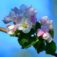 Яблони в цвету :: Paparazzi
