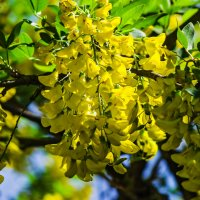 Гроздья акации желтой! :: Варвара