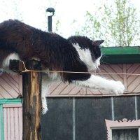 кот-канатоходец... :: александр дмитриев