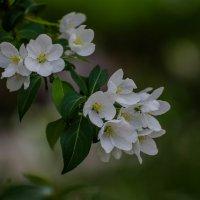 Белые цветочки :: Софья Оганова