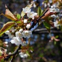 Нежность весны :: Svetlana Zavadska