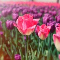 Тюльпаны :: Фотохудожник Наталья Смирнова