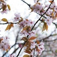 Сакура цветёт :: Ирина Климова