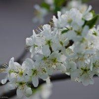 Весеннее цветение. :: Виктор Евстратов