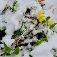 Майский снег :: Татьяна Соловьева