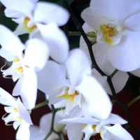 orchid :: kukuruza