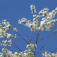 Вишня цветет :: Наиля