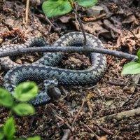 Змея :: Андрей Дворников
