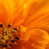 Буйство оранжевого цвета :: Анна Исенева